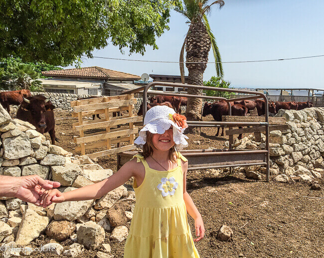 Sammy with cows at traditional dairy in Sicily