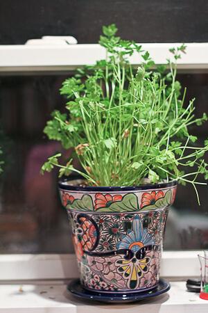 Indoor Flat Leafed Parsley Plant