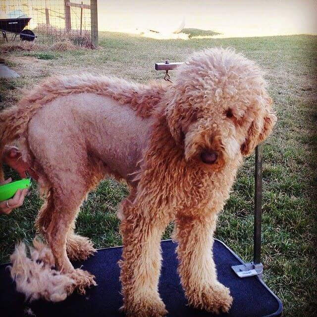 goldendoodle getting a shave