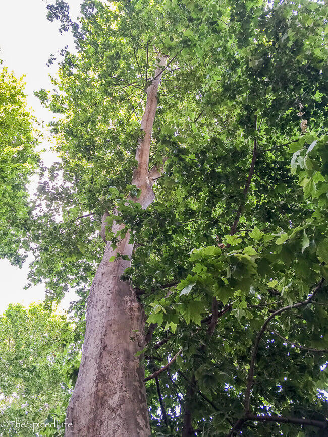 tree in sidewalk in Rome