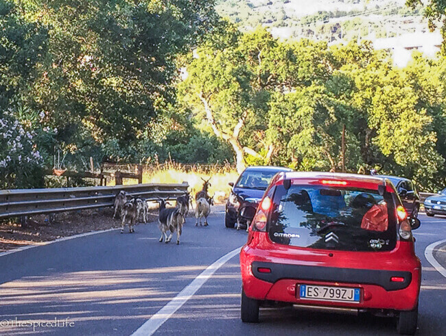 Stopped for goats crossing the road coming home from Tropea, Italy