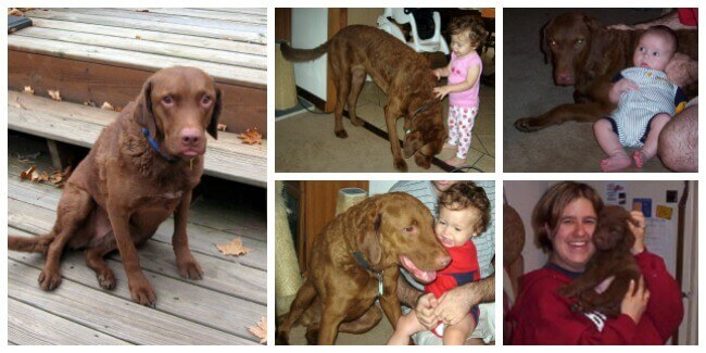 collage of Delilah, Chesapeake Bay Retriever
