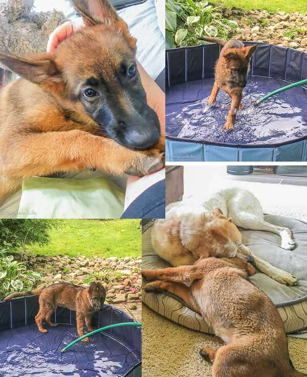 collage of Skadi pics (German Shepherd puppy)