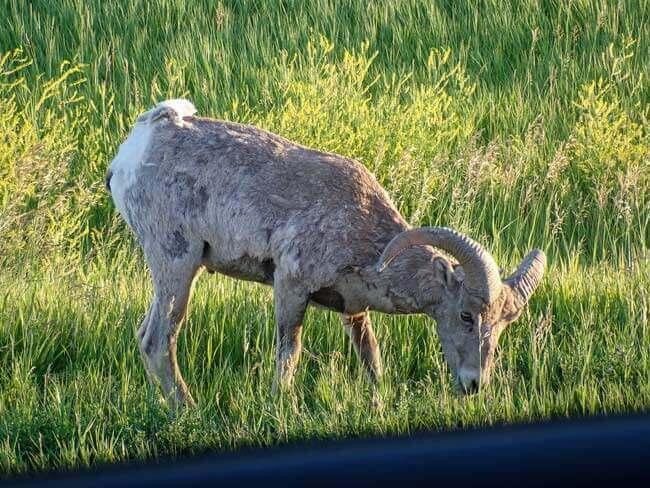 Bighorn Sheep approaching our car