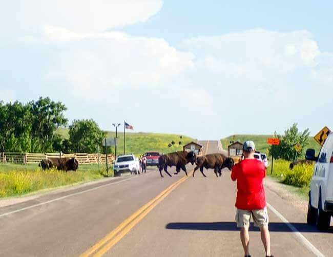 Bison crossing road into Badlands National Park