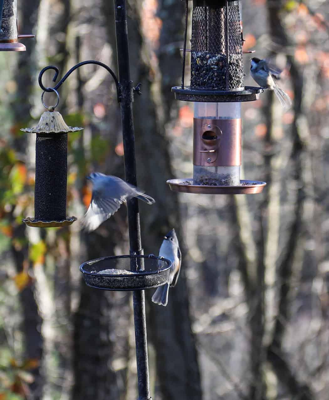 black capped chickadees at feeder